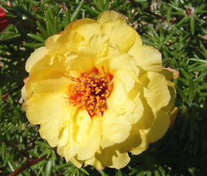 MOSS ROSE YELLOW Portulaca Grandiflora - 1,250 Bulk Seeds
