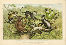 Various Monkeys Primate Guereza Monkey Green Monkey Orangutan Etc. Antique Print