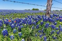 Bluebonnet Texas Lupine Non GMO Heirloom Flower Seeds Sow No GMO® USA