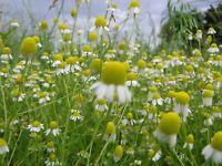 Chamomile Seeds- German- Heirloom Herb--  500+ 2021 Seeds  $1.69 Max Shipping!