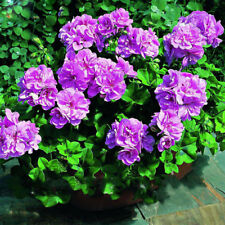 Purple Univalve Geranium Seeds Perennial Flower Seeds Pelargonium Peltatum Seeds