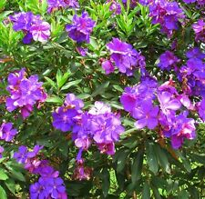 JULES Tibouchina Dwarf intense royal-purple flowering plant in 140mm pot