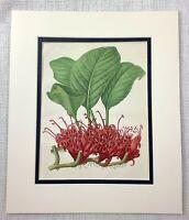 1877 Antico Botanico Stampa Scarlatto Rosso Radice Fiore Verde Foliage Pianta
