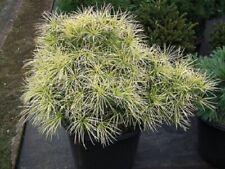 Sciadopitys verticillata mireille Japanese umbrella pine 5L 68-80x60  EXACT ITEM