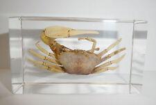 White Fiddler Crab Uca lactea in Clear Block Education Marine Animal Specimen