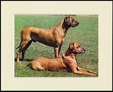 RHODESIAN RIDGEBACK TWO DOGS LOVELY IMAGE DOG PRINT MOUNTED READY TO FRAME