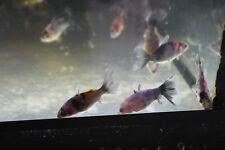 Bristol Shubunkin 5cm - Fancy Goldfish Rare - Oranda/Wakin/Ryukin - MF Aquatic