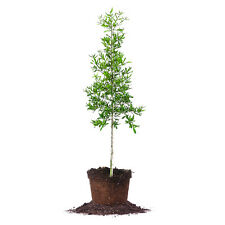 Willow Oak Tree, Live Plant, Size: 5-6 ft.