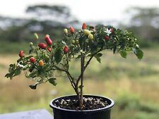 15 Dwarf (miniature) Big Island Hawaiian Chili Pepper Seeds Great Indoor Plant