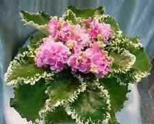 New listing African Violet Aly's Key Lime Pie (Droege) plant