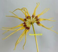Bulbophyllum Lion King 'Songsri' X Bulb brienianum Bloom size