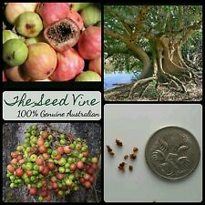 10 CLUSTER FIG TREE SEEDS (Ficus racemosa) Indian Edible Fruit Medicinal Bonsai