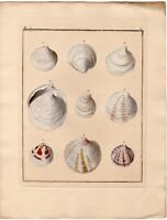 ca1850 KUSTER Antique H/C Engraving Sea Shells, Mollusca, Conchylien-Cabinet 115