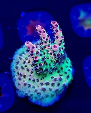 Wwc Christmas Mirabilis Acropora * Wysiwyg * Live Coral Frag * Aj's Aquariums