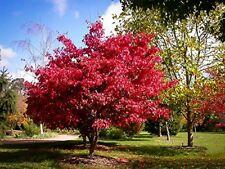 300  JAPANESE MAPLE TREE  SEEDS BLOODGOOD ,ORNAMENTAL SHADE TREES BONSAI SEEDS