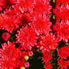#5 Red 100 Pcs Ground-cover Chrysanthemum Seeds Perennial Daisy Flower Seeds