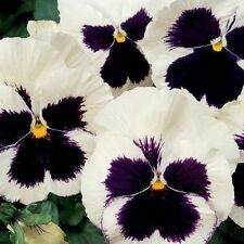 Flower seed - PANSY WHITE BLACK - Viola wittrockiana