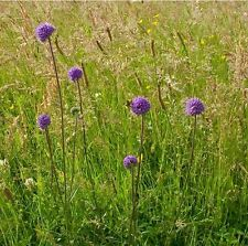 Wildflower Seeds-Devil 's-bit Scabious - 400 SEEDS