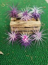 6 Tillandsia Ionantha ~Purplemania~ Fairy Garden Terriaum Air Plants~Easy Care