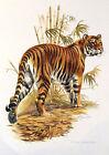 Impression Affiche papier Histoire Naturelle le Tigre , Panthera Tigris