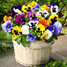 FLOWER - PANSY SWISS GIANT MIXED  - 300 SEEDS - Viola wittrockiana