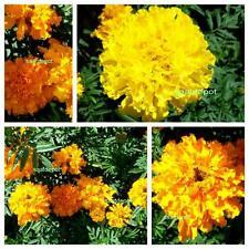 Studentenblume Riesen Mischung - große gefüllte Blüten - Tagetes Samen Saatgut