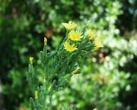 50 Samen Lactuca virosa - Giftlattich , Wilder Lattich