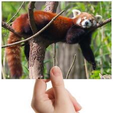 "Red Panda Tree Bear Endanger Small Photograph 6""x4"" Art Print Photo Gift #14154"