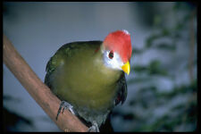 654057 Red crested Turaco Africa A4 Photo Print