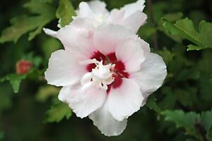 """Rose of Sharon LIVE PLANT Large Root 6""""-24""""+ Tall Hibiscus Syriacus Flower Shrub"""