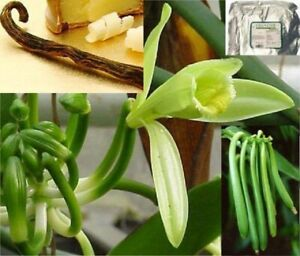 Expensive Herb Vanilla Orchid/Well Rooted Vine Cutting, Similar in 2nd Picture