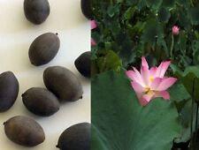 10 graines de LOTUS SACRE NELUMBO NUCIFERA rose  ,plante bassin ,jardin,aquatic