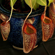 50seeds/pack Cheap Bonsai Nepenthes Seeds Eating Mosquito Growing Lush