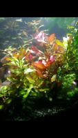 3 x Ludwigia Repens Red Bunch Freshwater Aquarium Plants