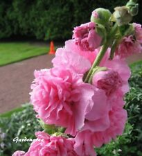 100 Graines Rose trémière Althaea rosea (hollyhock) Double Pink flower seeds