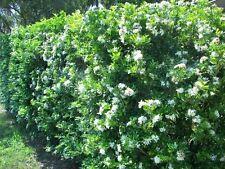 2 WHITE STAR PRIVET HEDGE PLANTS - Flowering Shrub - 1-2 year old