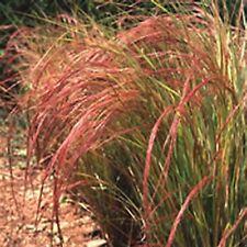 6 STIPA ARUNDINACEA 'PHEASANT TAIL GRASS' MEDIUM PLUG PLANTS - HARDY P