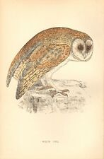 1865 ca - ANTIQUE ORNITHOLOGICAL PRINT-  WHITE OWL