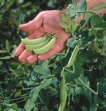 2017 Heirloom Sugar Ann Snap Pea Seeds 1/4 lb  approximately 450 seeds