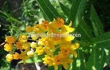 Asclepias currassavica, giallo, la dauerblüher, ongoing Flower, 20 semi, 20 seeds