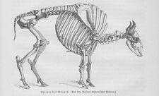 Wisent Skelett Gerippe Europäische Bison Holzstich von 1891 Rinder Rinderrassen