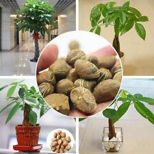 MINI PACHIRA MACROCARPA SEEDS MAKE MONEY TREE BONSAI POT INDOOR PLANT DECOR New