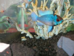 A Pair of Large Electric Blue Ram Cichlid (Male and Female)