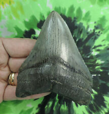 Megalodon Sharks Tooth  4 1/4'' inch NO RESTORATIONS fossil sharks teeth tooth