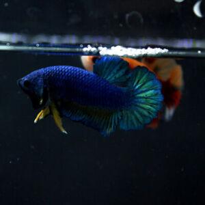 Live Betta Fish Male Black Base Yellow Tie Blue Copper HMPK