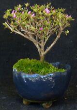 SONDERPREIS - Bonsai - kleinblättrige Bergazalee Japan - SHOHIN - lila Blüten