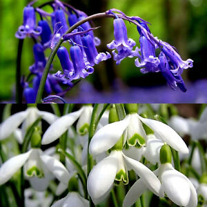 50 SNOWDROPS & 50 BLUEBELL BULBS Spring Flowering In The Green