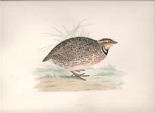 1855 Bird original print Quail Beverley R. Morris