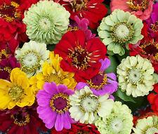 ZINNIA PUMILA MIX Zinnia Elegans - 2,500 Bulk Seeds