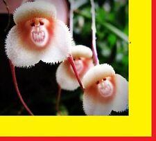 15x Affen Gesicht Samen Pflanze Garten Zimmerpflanze Neu Orchideen Pflanze #226